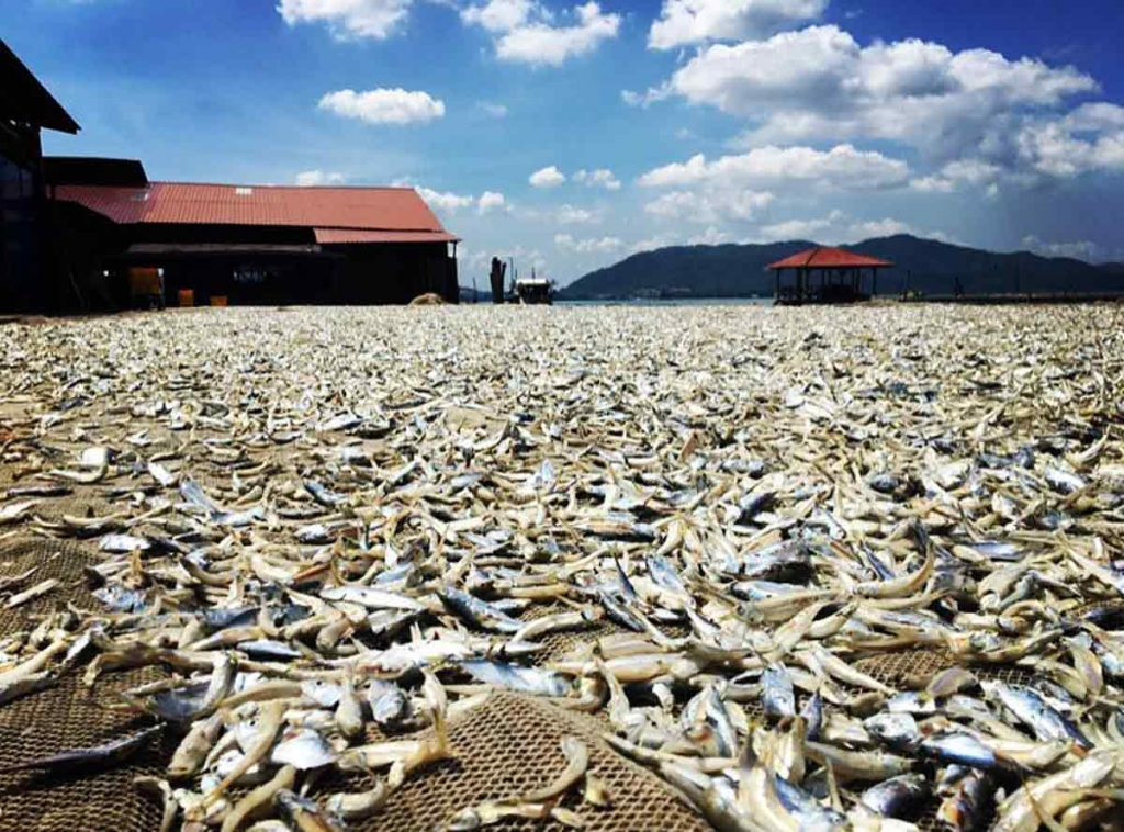 Hua Xing Fishery - A Dried Anchovies Processing Factory in Pangkor Island